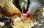 Понос у кур несушек – как лечить и как предотвратить?