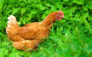 Как избавиться от куриных блох в курятнике: средства и препараты