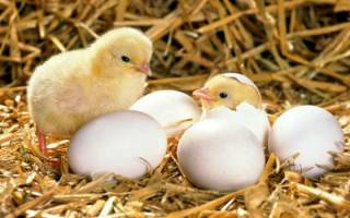 Особенности выведения цыплят в инкубаторе в домашних условиях
