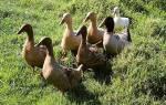 Особенности выращивания яично-мясной породы уток хаки-кембелл