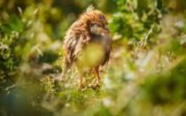 Запор у цыплят – что делать и как вылечить птиц?
