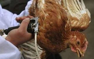 Как правильно провести вакцинацию цыплят в домашних условиях?