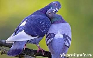 Голубь: история приручения человеком, внешний вид и повадки