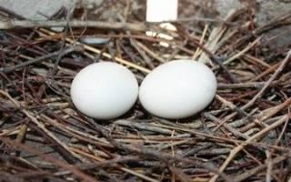 Высоколетные николаевские голуби — описание породы и разведение