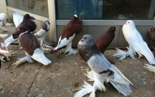 Виды, характеристики и стандарты содержания декоративных голубей