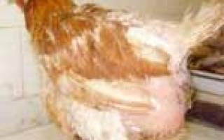 Можно ли и как спасти кур и цыплят от желточного перитонита?