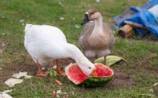 Как и чем кормить гусей в домашних условиях?