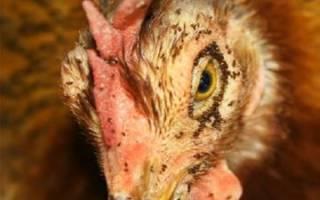 Куриные вши: симптомы и лечение болезни