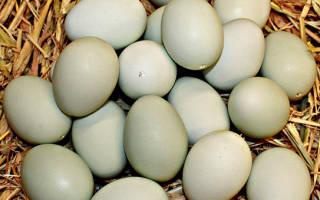 Утиные яйца — польза и вред