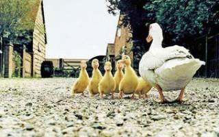 Основные принципы разведения уток для начинающих птицеводов
