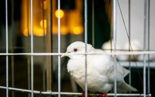 Инфекционные и неинфекционные болезни голубей и их лечение