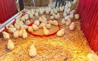 Микоплазмоз у цыплят бройлеров и несушек — лечение и профилактика