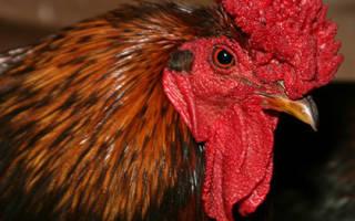 Английская красношапочная порода кур — особенности и условия содержания