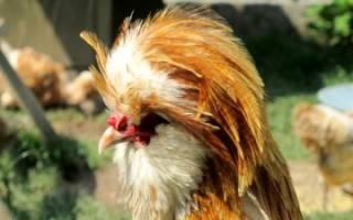 Куры падуан — описание породы и уход за птицами