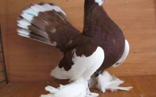 Самые распространенные и узнаваемые породы голубей