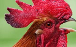 Почему возникает туберкулез у кур и можно ли его вылечить?