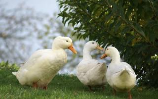 Индоуткии и утята в домашнем хозяйстве — советы птицеводам
