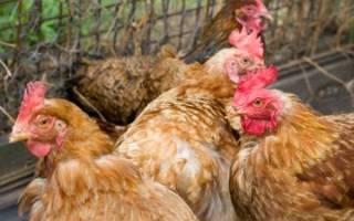 Болезни печени у кур — кокцидиоз, гистомоноз и другие